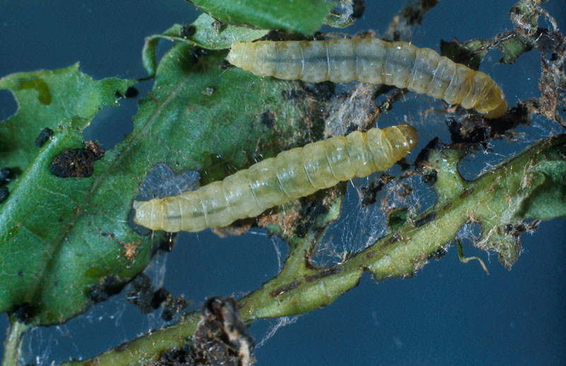 Oak leafshredder - Dorsal view of larva