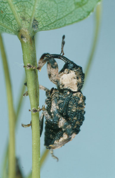 Poplar-and-willow borer