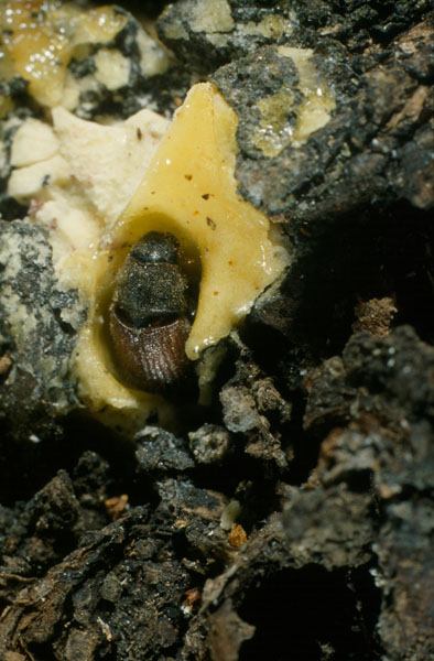 Spruce beetle - Adult on resin at entrance hole of a gallery