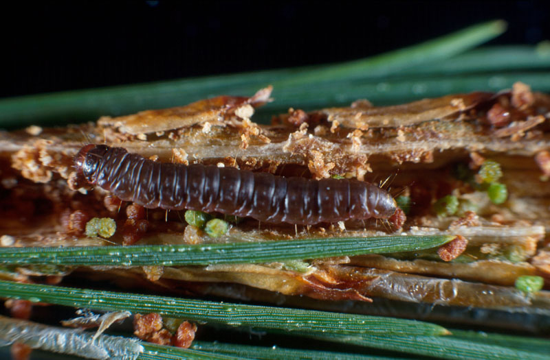 Fir coneworm - Larva into its galery of twig