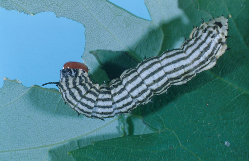 Greenstriped mapleworm - Dorsal view of mature larva (length: 40-50 mm)