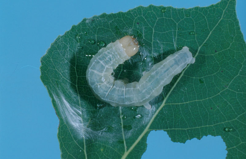 Aspen twoleaf tier - Mature larva (length: 25-33 mm)
