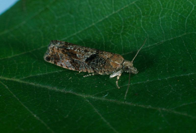 Birch-aspen leafroller