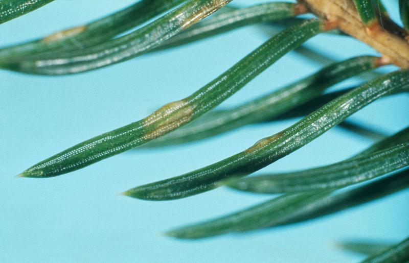 European spruce sawfly