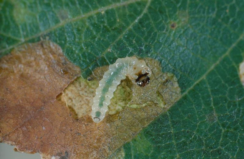 Late birch leaf edgeminer