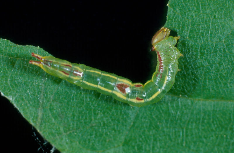Saddled prominent - Half-grown larva
