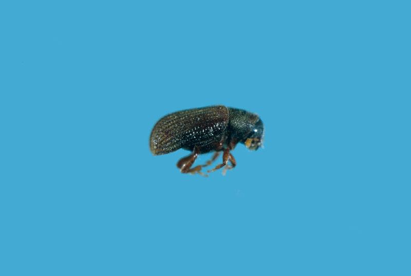 Native elm bark beetle