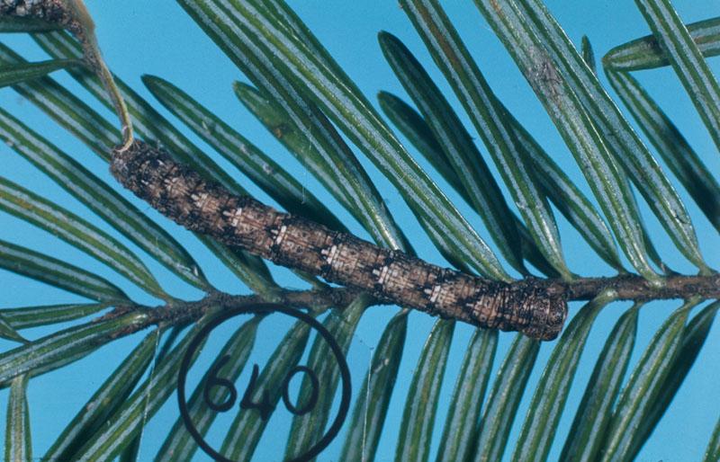 Pine measuringworm moth