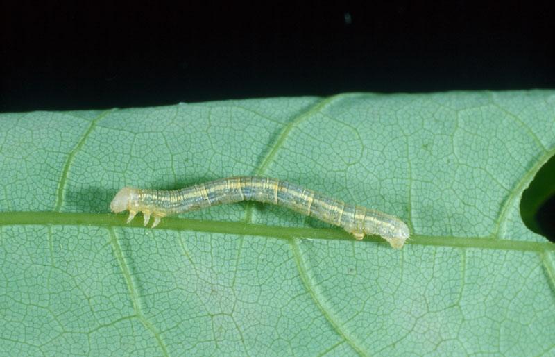 Lesser maple spanworm - Larva