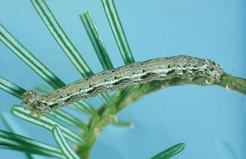 Hemlock looper - Mature larva on fir twig (length: 32 mm)
