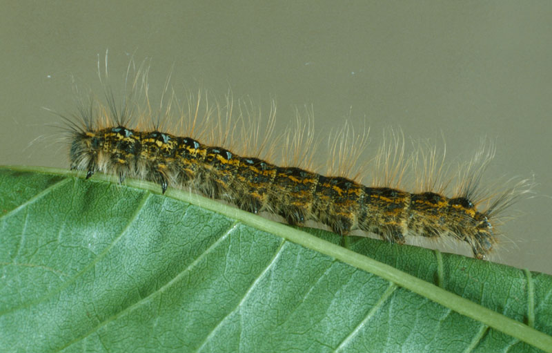 Northern tent caterpillar