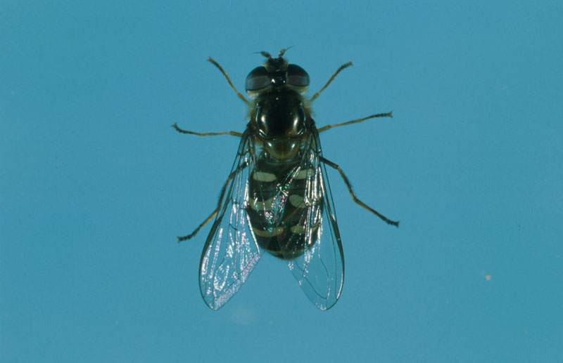 Lapland syrphid fly - Adult at rest