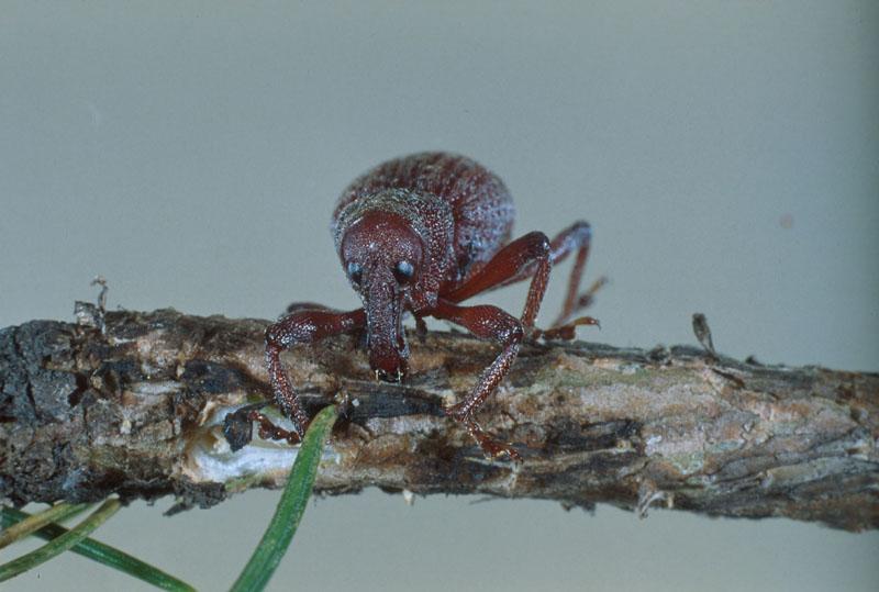 Warren root collar weevil - Adult on spruce stem