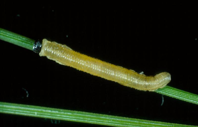 Red pine sawfly