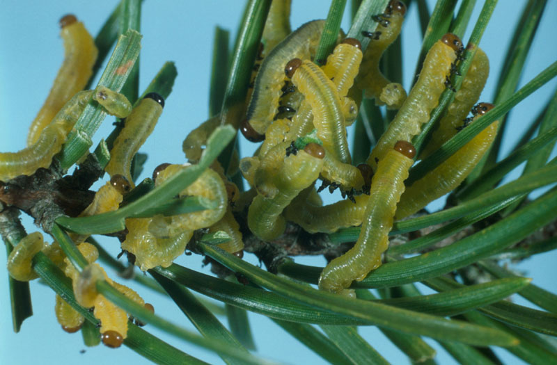 Swaine jack pine sawfly - Colony of young larvae on a jack pine shoot