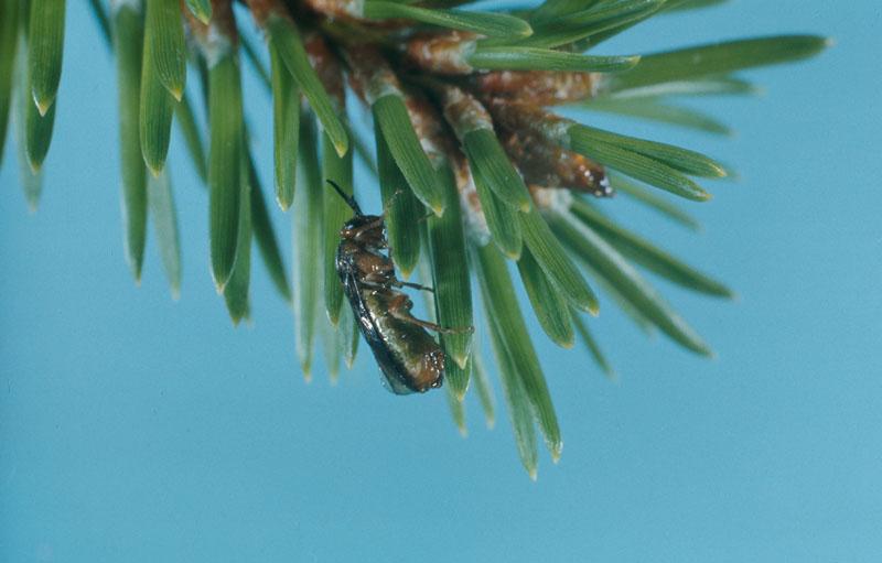 Swaine jack pine sawfly