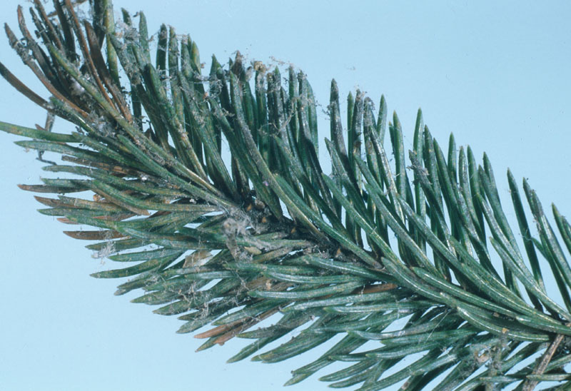 Spruce spider mite - Damage showing discoloration made by feeding, and dusty appearance caused by spider mite web on foliage