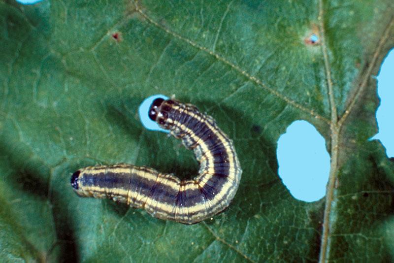Bruce spanworm - Dorsal view of a dark feeding larva