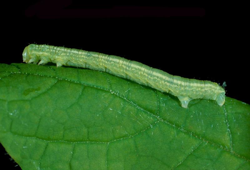 Bruce spanworm