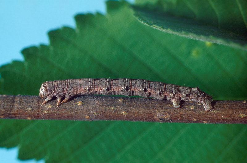 Spring cankerworm - Larva