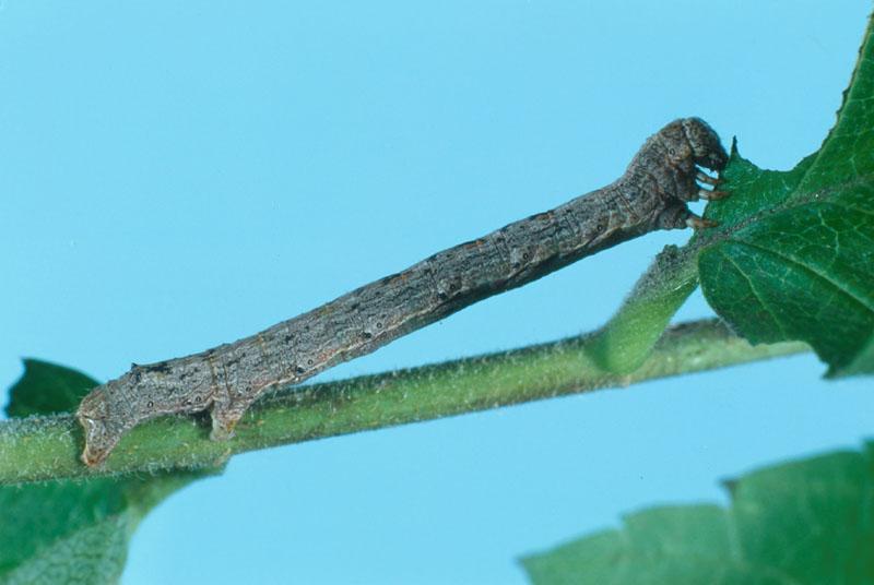 Spring cankerworm