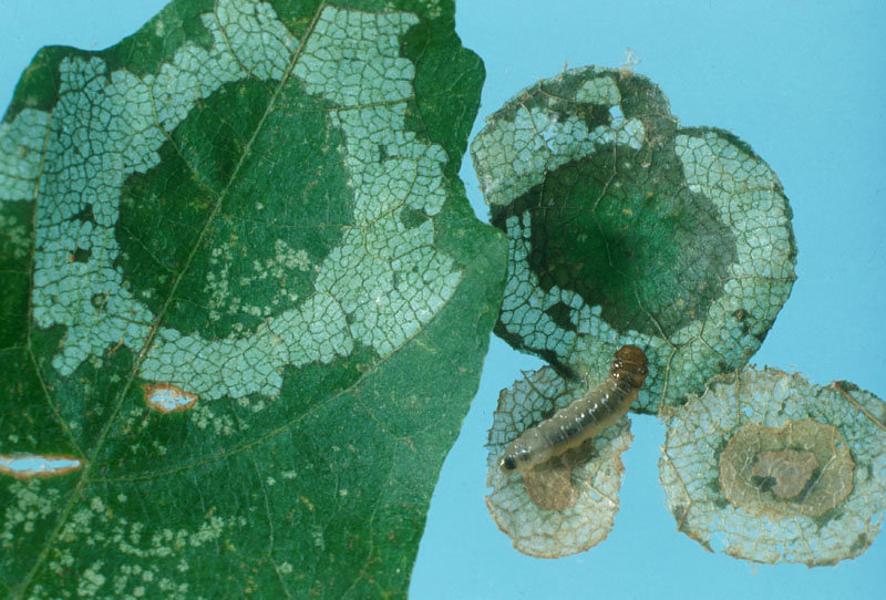 Maple leafcutter - Green foliage inside the defoliated ring, seen after removing the habitaculum, and series of disks forming the habitaculum