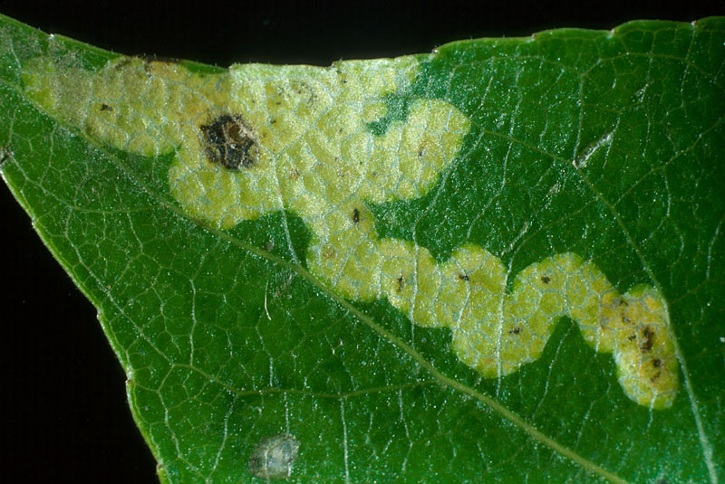 Lombardy leafminer - Track followed by the larva inside the poplar leaf (gallery)