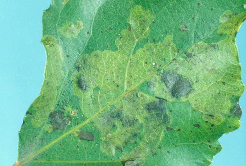 Lombardy leafminer