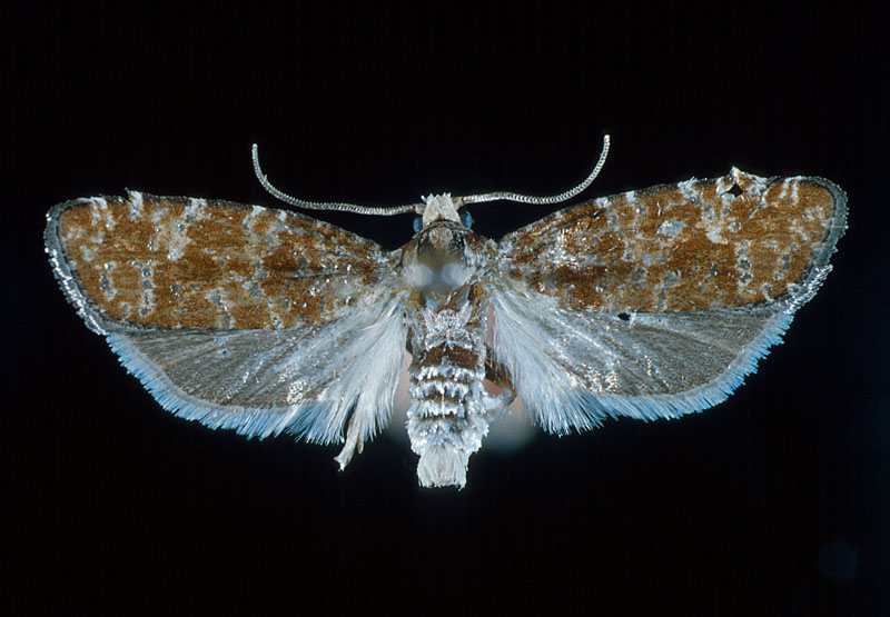 Northern pitch twig moth