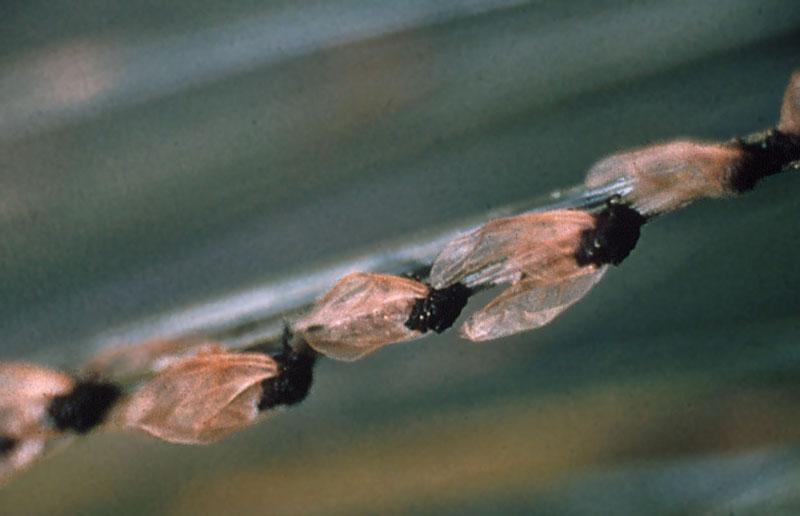 Pine leaf adelgid