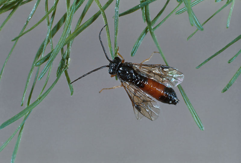 Larch sawfly httpstidcfnrcangccaimageswebimfcinsectes