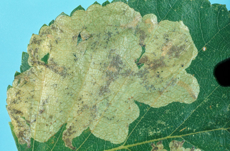 Ambermarked birch leafminer - Tunnel containing several larvae