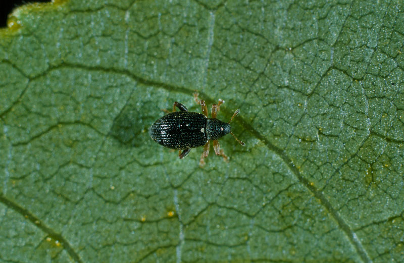 Willow flea weevil