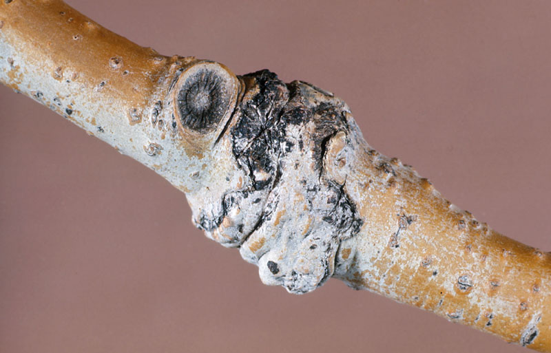 Poplar gall borer - Damage (gall) on a trembling aspen branch