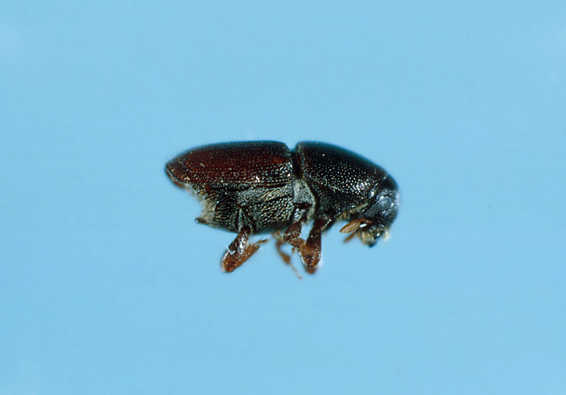 Smaller European elm bark beetle - Side view of an adult
