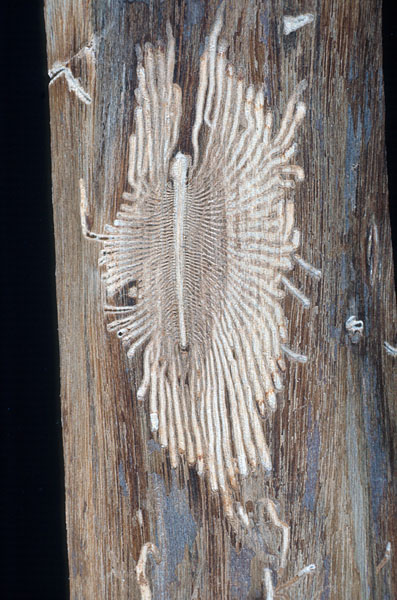 Smaller European elm bark beetle