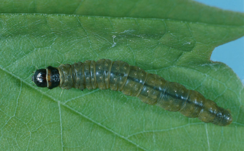 Maple leafroller - Mature larva (length: 25 mm)