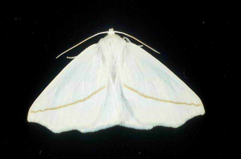 White slaut