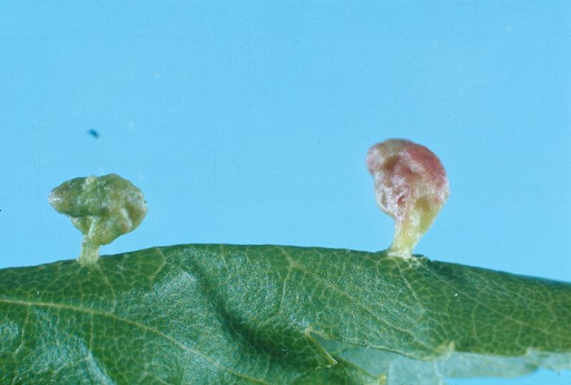 Maple bladdergall mite