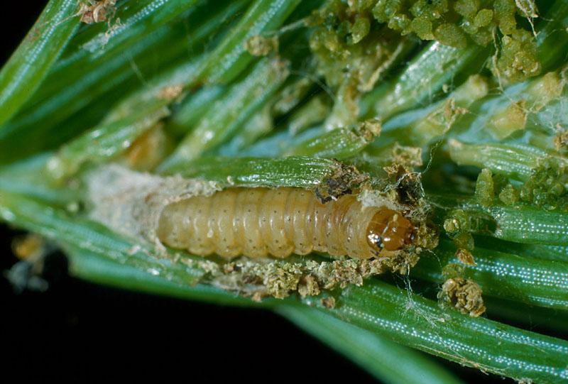 Spruce bud moth - Larva, showing damage inside a spruce shoot, and silk envelope
