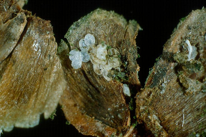 Larch needleworm