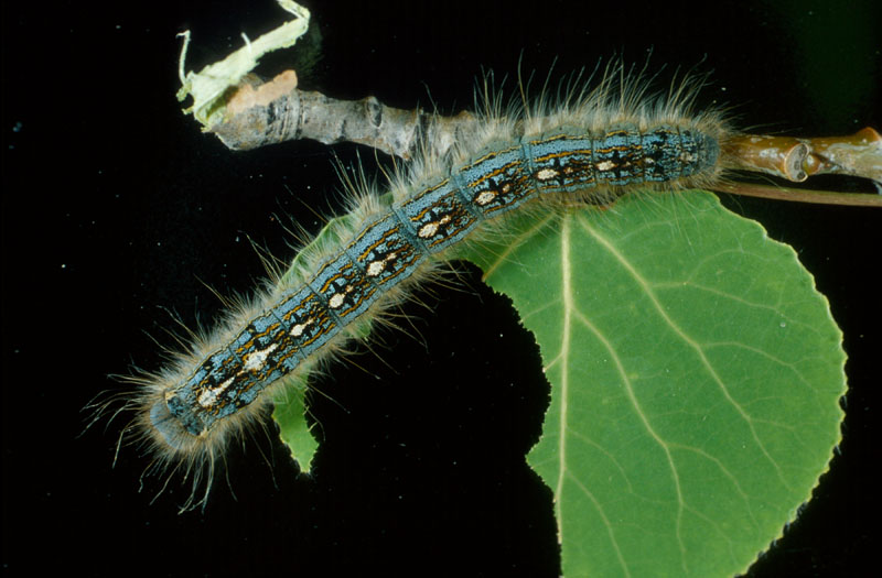Forest tent caterpillar - Dorsal view of mature caterpillar