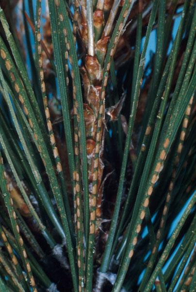 Redheaded pine sawfly