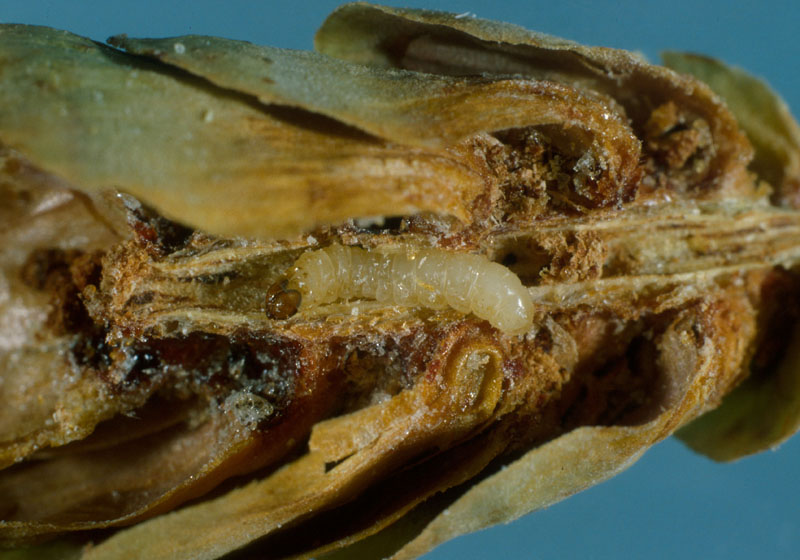 Spruce seed moth - Larva in its gallery into the cone
