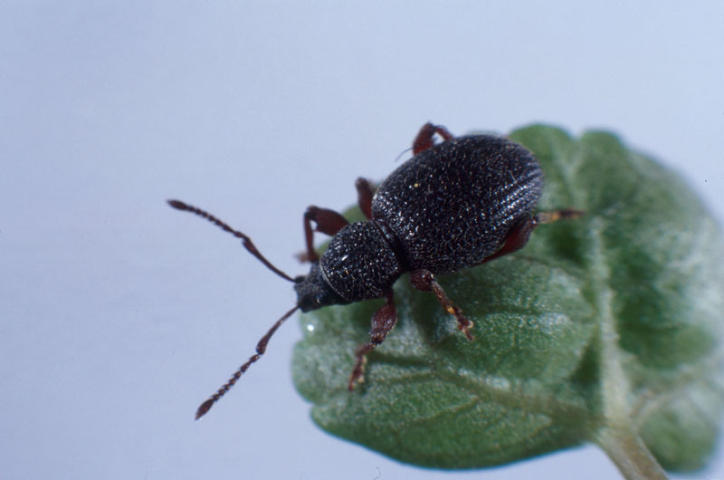 Strawberry root weevil - Adult on leaf