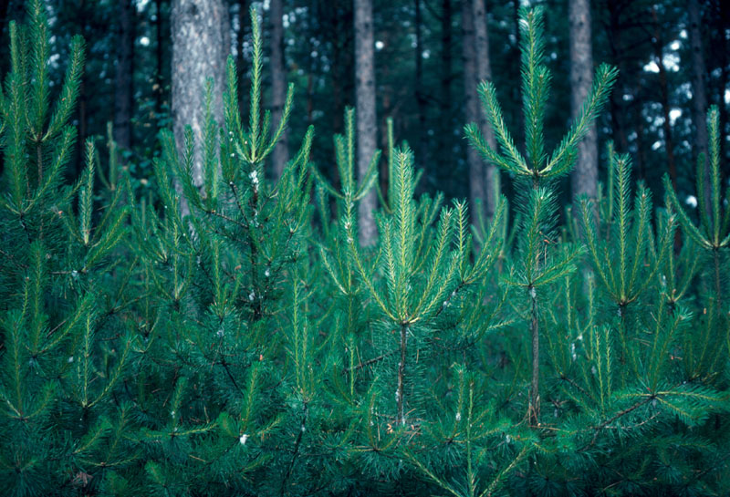 Pine spittlebug