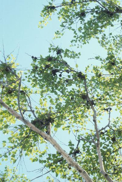Birch budgall mite