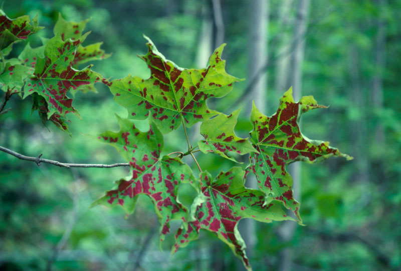 Crimson erineum mite