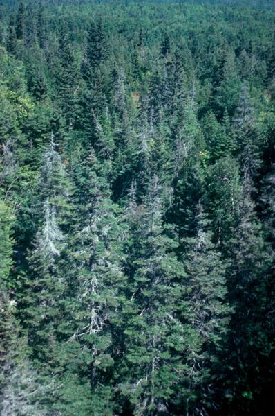 Balsam woolly adelgid