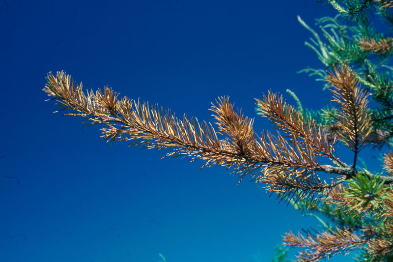 Jack pine resin midge